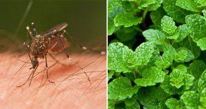 Muỗi sợ nhất thứ này, nhà ai nhiều muỗi, nhất là có con nhỏ thì hãy làm ngay